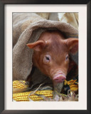 Domestic Pig in Sack, Mixed Breed, USA Prints by Lynn M. Stone