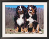 Two Bernese Mountains Dogs Prints by  Reinhard