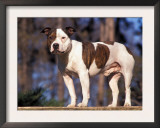 Staffordshire Bull Terrier Portrait Poster by Adriano Bacchella