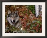 Grey Wolf Amongst Woodland Leaves, Minnesota, USA Prints by Lynn M. Stone