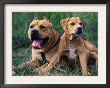 Domestic Dogs, Pit Bull Terrier with Puppy Prints by Adriano Bacchella