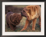 Domestic Dogs, Shar Pei Puppy and Parent Touching Noses Prints by Adriano Bacchella