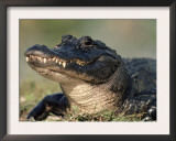 American Alligator Portrait, Florida, USA Prints by Lynn M. Stone