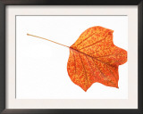 Tulip Tree Leaf in Autumn Colours Art by Petra Wegner