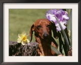 Dachshund Dog Amongst Flowers, USA Art by Lynn M. Stone