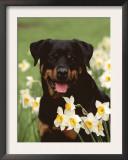 Rottweiler Dog Amongst Daffodils, USA Posters by Lynn M. Stone