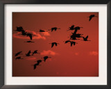 Common Crane, Flock Flying, Silhouettes at Sunset, Pusztaszer, Hungary Art by Bence Mate