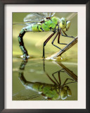 Female Emperor Dragonfly (Anax Imperator) Laying Eggs at the Edge of a Pond, Cornwall, UK Posters by Ross Hoddinott