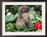 Holland Lop Domestic Rabbit Posters by Lynn M. Stone