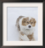 Female Red Merle Australian Shepherd Dog Running in Snow, Longmont, Colorado, USA Print by Carol Walker