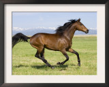 Bay Thoroughbred, Gelding, Cantering Profile, Longmont, Colorado, USA Prints by Carol Walker
