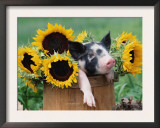 Mixed-Breed Piglet in Basket with Sunflowers, USA Art by Lynn M. Stone