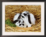 Lop-Eared Rabbits Prints by  Steimer