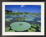 Bullfrog, Adult on American Lotus Lilypad, Welder Wildlife Refuge, Sinton, Texas, USA Prints by Rolf Nussbaumer
