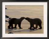 Polar Bears Sniffing / Greeting Each Other, Churchill, Canada Posters by Staffan Widstrand