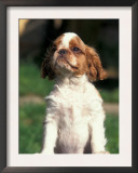 King Charles Cavalier Spaniel Puppy Portrait Prints by Adriano Bacchella