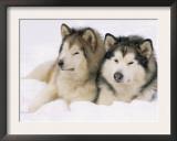 Two Alaskan Malamute Dogs, USA Prints by Lynn M. Stone