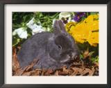 Netherland Dwarf Rabbit, Amongst Flowers, USA Posters by Lynn M. Stone