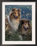 Two Shetland Sheepdogs Panting Print by Adriano Bacchella