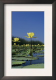 Yellow Water Lilies, in Bloom on Lake, Welder Wildlife Refuge, Sinton, Texas, USA Posters by Rolf Nussbaumer