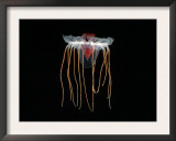 (Periphylla Sp) Juvenile, Jellyfish, Deep Sea Atlantic Ocean Posters by David Shale