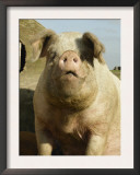 Free Range Organic Sow Portrait, Wiltshire, UK Posters by T.j. Rich
