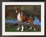 Boxer Dog, Illinois, USA Prints by Lynn M. Stone