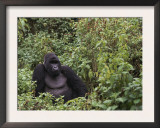 Silverback Mountain Gorilla, Amongst Vegetation, Zaire Print by Staffan Widstrand