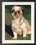 Shih Tzu Puppy Sitting on Grass Posters by Adriano Bacchella