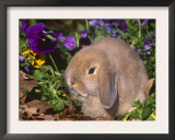 Baby Holland Lop Eared Rabbit, USA Posters by Lynn M. Stone