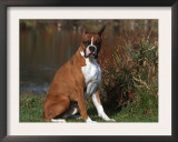Boxer Dog Sitting, Illinois, USA Print by Lynn M. Stone
