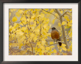 American Robin, Male in Aspen Tree, Grand Teton National Park, Wyoming, USA Art by Rolf Nussbaumer