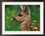 Roe Deer Fawn (Capreolus Capreolus) Europe Posters by  Reinhard