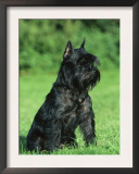 Black Miniature Schnauzer Prints by Petra Wegner