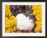 Mini Rex Rabbit, Amongst Flowers, USA Prints by Lynn M. Stone