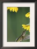 Ruby Throated Hummingbird, Female Feeds at Sunflower, Texas, USA Art by Rolf Nussbaumer