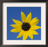 Sunflower, in Bloom, Welder Wildlife Refuge, Rockport, Texas, USA Posters by Rolf Nussbaumer