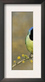 Green Jay Pair, Texas, USA Posters by Rolf Nussbaumer
