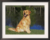 Domestic Dog Sitting Portrait, Golden Retriever, (Canis Familiaris) Illinois, USA Poster by Lynn M. Stone