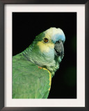 Blue Fronted Amazon Parrot Print by Lynn M. Stone