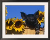 Domestic Piglet, Amongst Sunflowers, USA Art by Lynn M. Stone