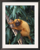 Golden Lion Tamarin Posters by Tony Heald