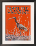 Nature Magazine - View of a Ibis in a Marsh, c.1926 Posters