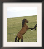 Mustang / Wild Horse, Two Stallions Fighting, Montana, USA Pryor Mountains Hma Posters by Carol Walker