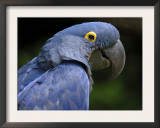 Hyacinth Macaw, Head Profile Poster by Eric Baccega