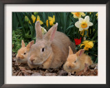 Palamino Rabbits, Mother and Babies, Amongst Daffodils Prints by Lynn M. Stone