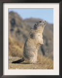 Alpine Marmot Calling, Switzerland Posters by Rolf Nussbaumer