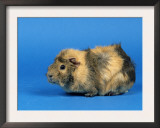 Three Red Abyssinian Guinea Pigs Prints by Petra Wegner