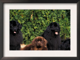 Domestic Dogs, Four Newfoundland Dogs Resting on Grass Print by Adriano Bacchella