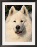 Samoyed Dog, USA Prints by Lynn M. Stone